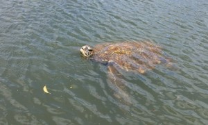 """A Ginormous Turtle popping up to say """"HEELLLOOO"""""""